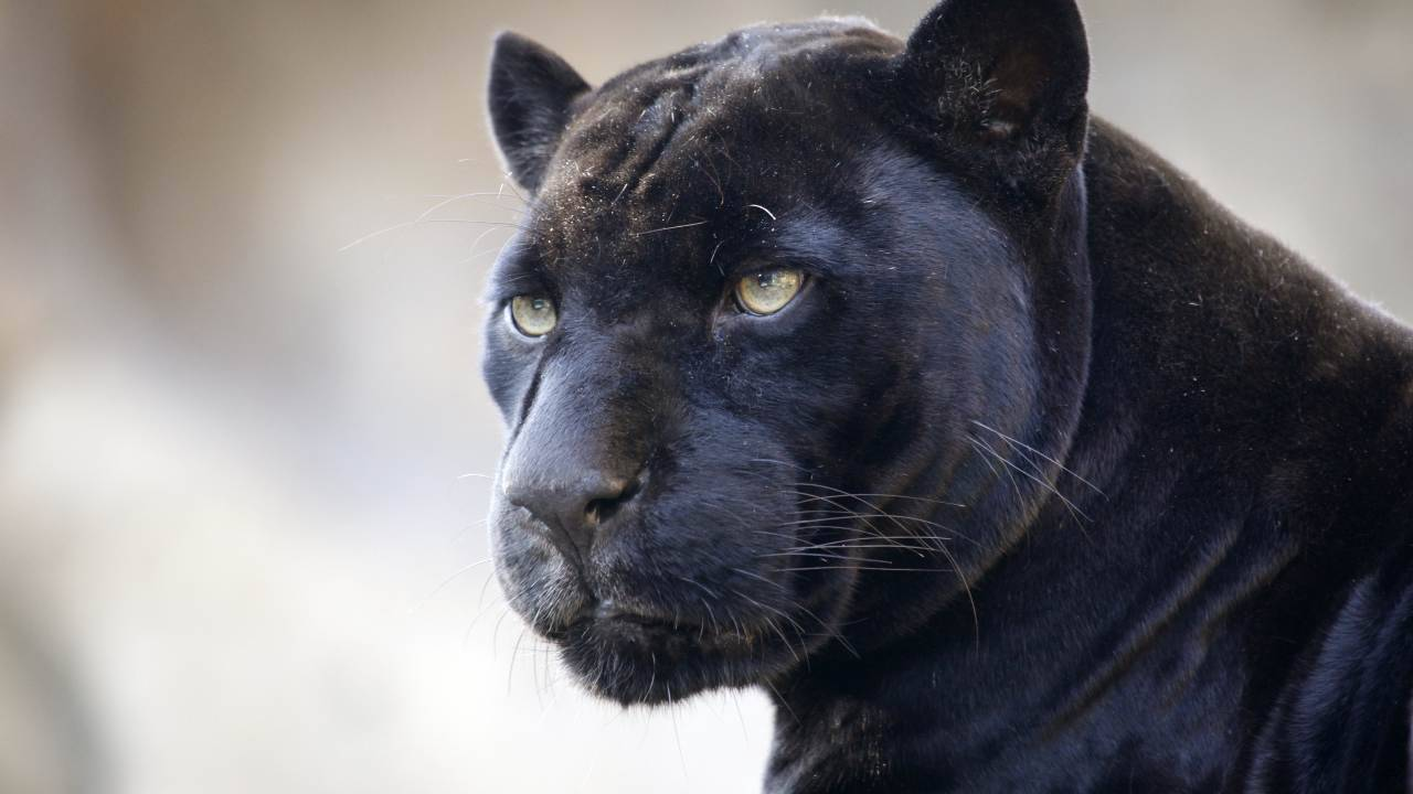 pantera nera avvistata in irpinia
