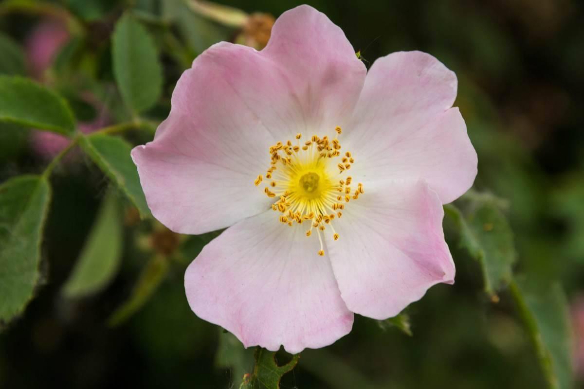 Olio di Rosa Mosqueta le proprietà per la pelle