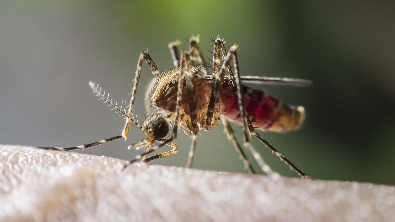 zanzare non trasmettono covid-19
