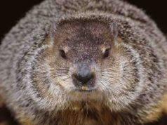 marmotta peste bubbonica