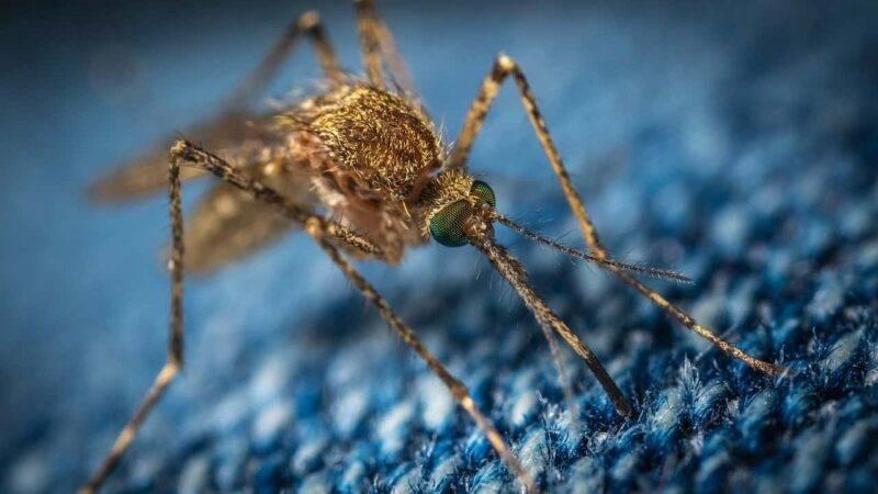 zanzara curiosità