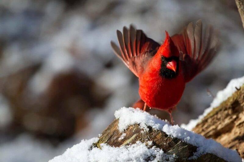 cardinale uccello