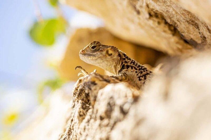 lucertola nella roccia