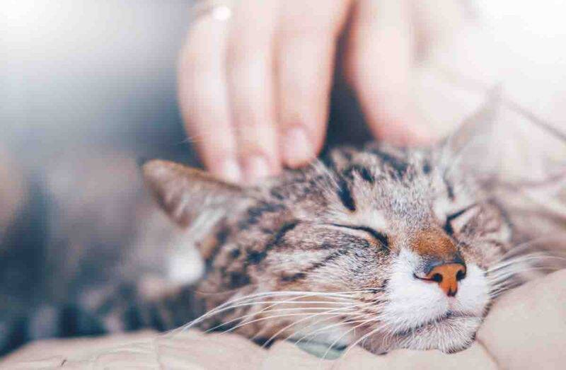 fusa del gatto benefici