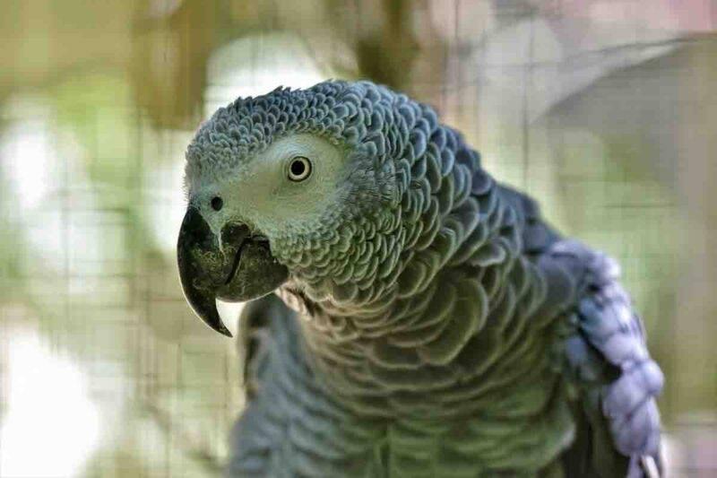 animali esotici, pappagallo cenerino