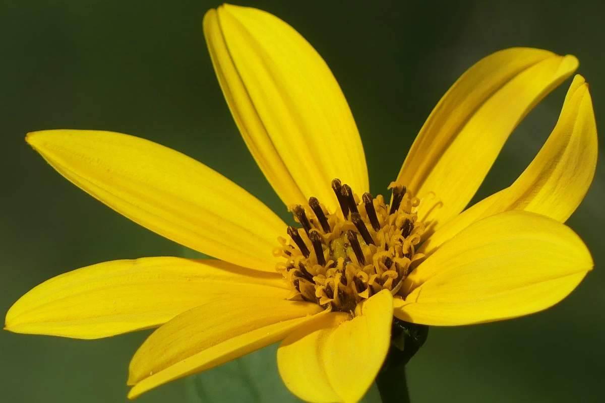 fiore topinambur