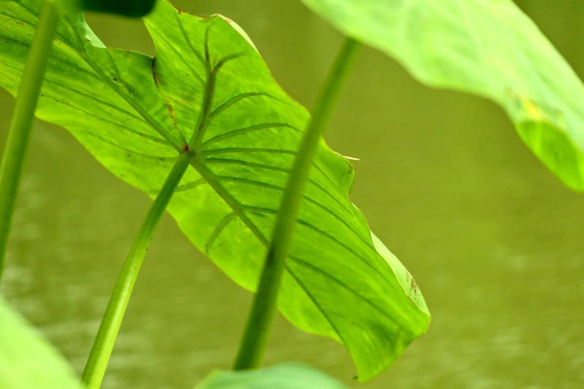 foglie taro