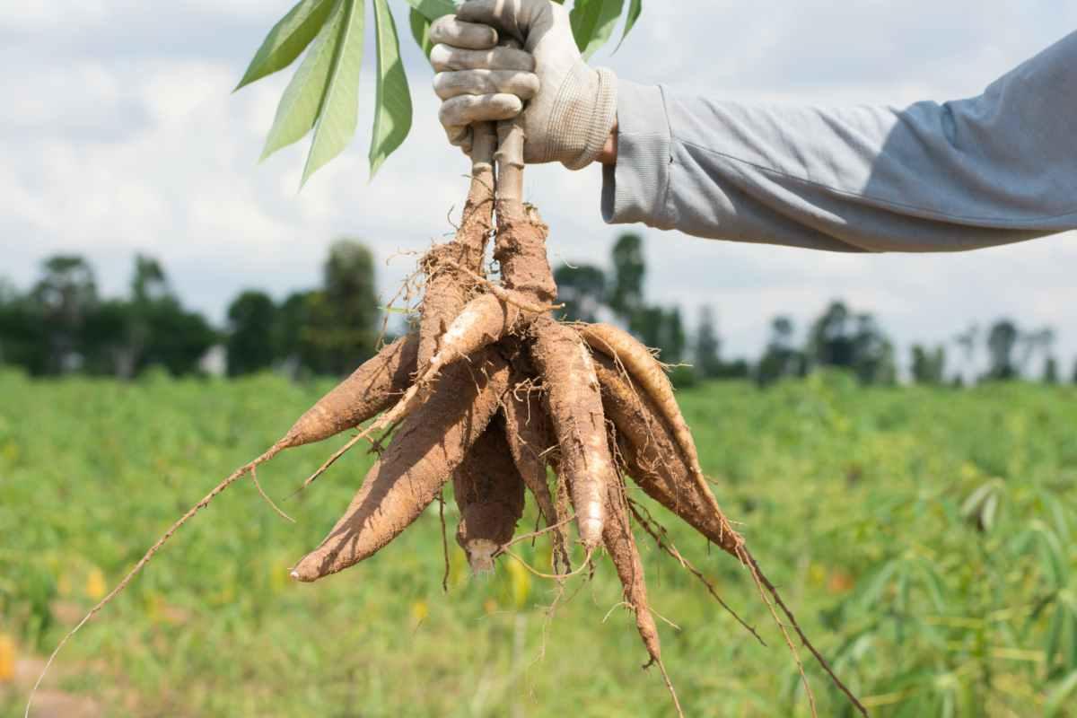 manioca radice