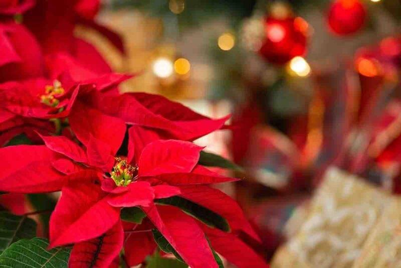 Stella di Natale pianta cure