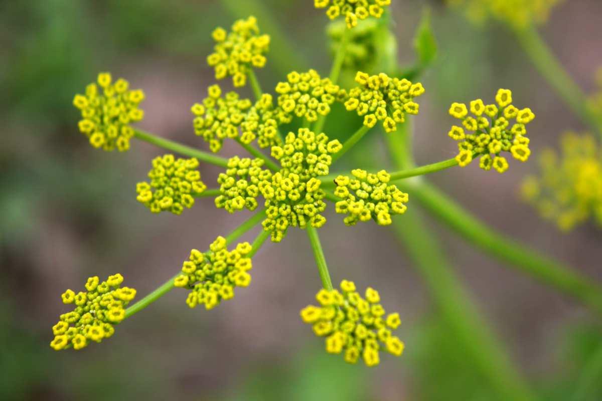 pastinaca fiori