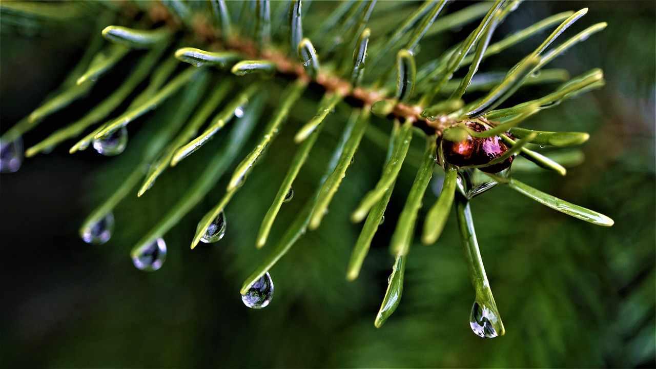 ramo di abete bagnato di pioggia