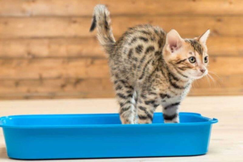 Comportamento gatto nel defecare