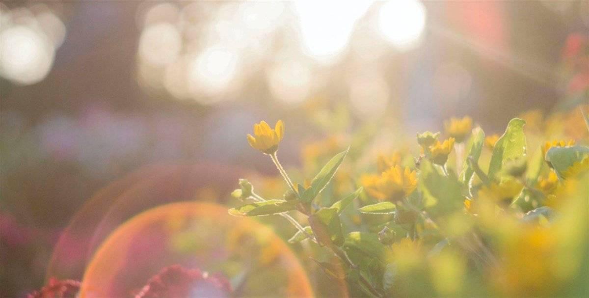 fiori sole