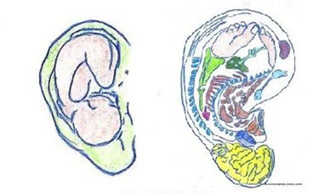 orecchio feto salute