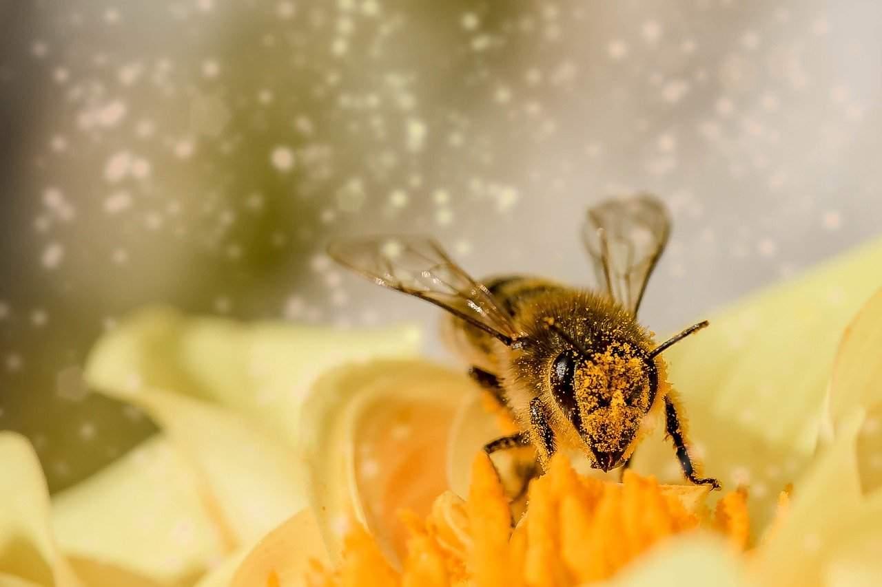 polline ape