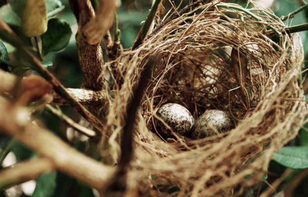 nido uova