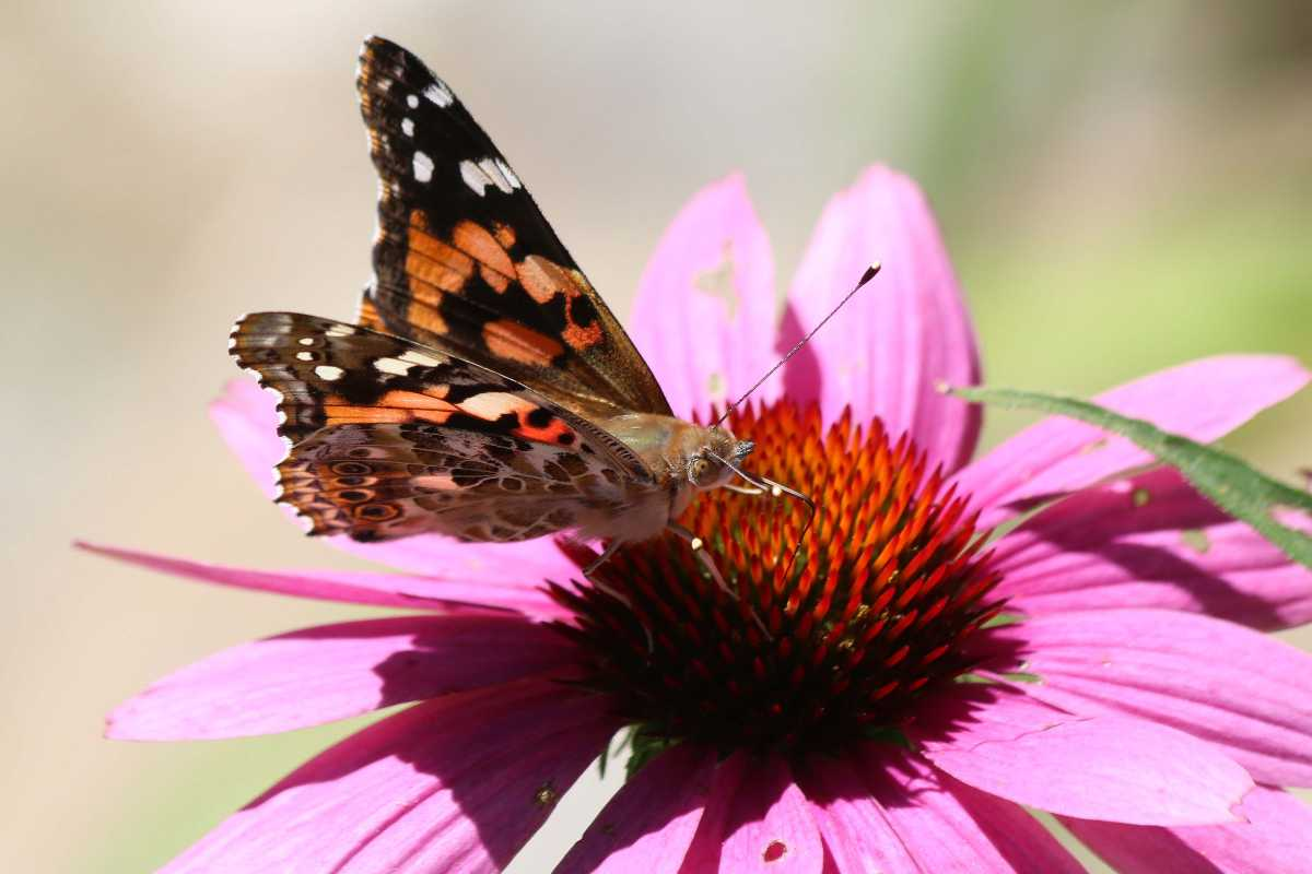 echinacea farfallla